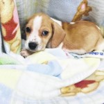 Beagle puppies seeking adoptive home